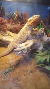 Bearded Dragon and home