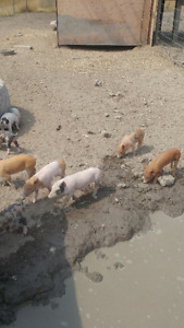 **** BACON SEEDS **** (piglets)