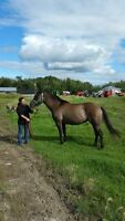 Registers Quarter Horse Grullo mare. Offers welcome