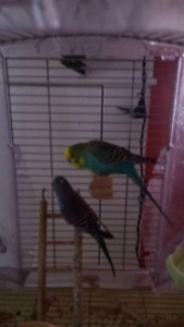 2 birds with large cage