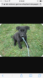Wanted- Lab/Golden Retriever/German Shepard cross puppy