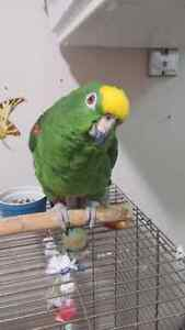 crowned amazon with large cage