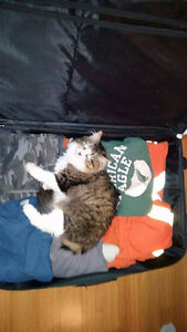 Tabby and white female lost Cornwall Ontario image 1
