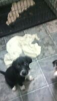 Coonhound x Rottweiler x Border Collie Pups left 3 girls,one boy