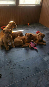 French  Mastiff puppies 2 left!! (Dogue de Bordeaux)