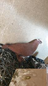 Iraqi pigeons