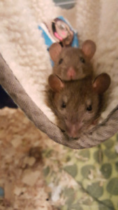 2 female rats 5 months old