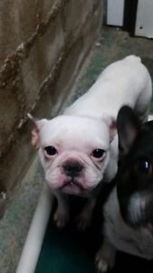 FRENCHIES, BULLDOGS AND MORE FOR ADOPTION