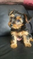 Sweet Little  Yorkies $100 off if Valentines gift !!!