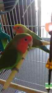 Two Lovebirds (together since hatching)