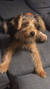 5 months old Yorkie / Vaccinated - Willing to negotiate