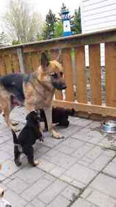 German Shepherd  cross puppies.  All puppies are sold. Thanks!