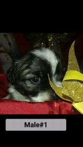 Holiday Morkie Puppies