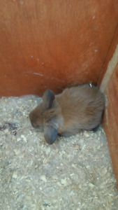 Holland Lop Bunny Rabbits
