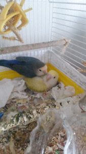 baby lovebirds