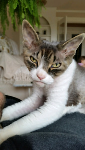 Missing Devon rex