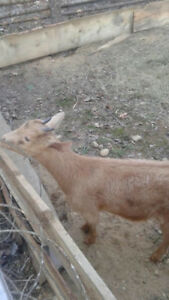 Goat for sale