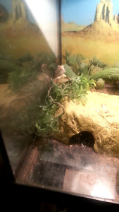 8 month old baby bearded dragon