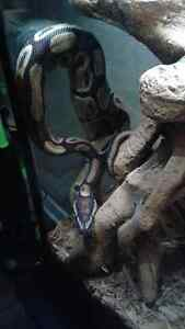 Ball python snake Kitchener / Waterloo Kitchener Area image 7