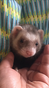 Male Baby Ferret for Rehoming (everything included)