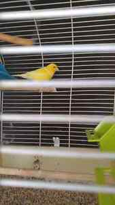 Yellow male canary