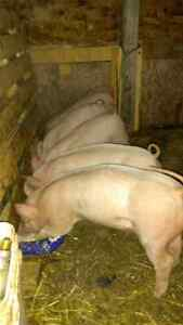 Baby pig for sale