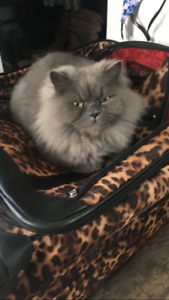 Four Year Old -Persian Himalayan needs loving home