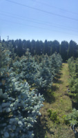 7 sisters tree farm and landscaping