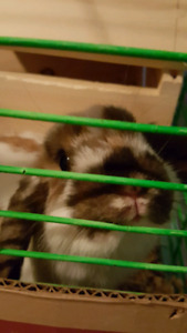Baby male Holland lop bunny