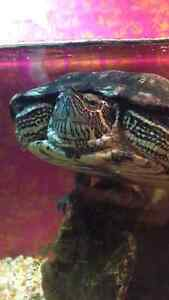 Looking for home for my Red Eared Slider