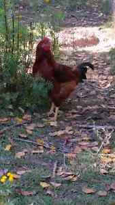 Big Beautiful Rhode Island Red Rooster