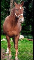Looking to part board my mare