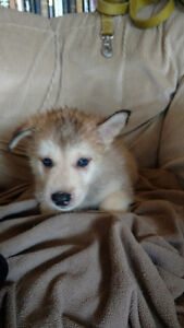Shepherd Husky X Puppies for sale