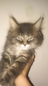 Adorable chatons maine coon croisser