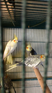 Cockatiels   one ro two years old