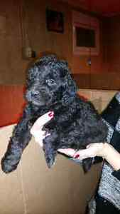 Black Goldendoodle Puppies Available.