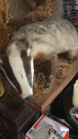 Taxidermy badger