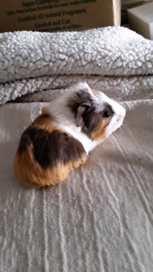 Adorable baby guinea pigs ready for their forever homes
