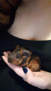 4 Guinea pig pups to good homes $20 each.