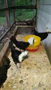 2 polish chickens for sale
