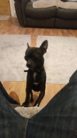 Chihuahua dog for sale in wigan