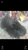 Rabbit name bear he's black and he's 3 months old