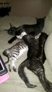 2 lovable, cuddly little kittens, looking for a forever home.