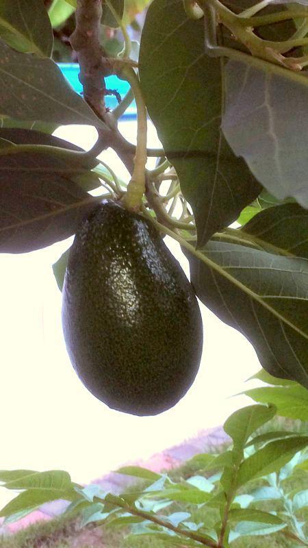Avocado 140cm  veredelt ! Persea americana  Avocadopflanze Avocadobaum