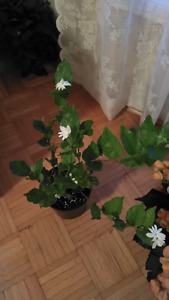 Bella jasmine (motia) plants for sale