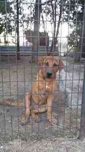 Purebred presa canario and rottweiler x presa canario pup