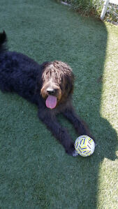 Labradoodle- hypoallergenic dog needs a new home