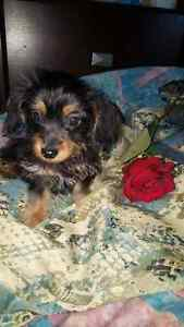 Mini Dachshund Yorkie Mix