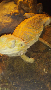 Adult female rescue bearded dragon