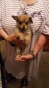 Yorkie/pomeranian puppies for sale